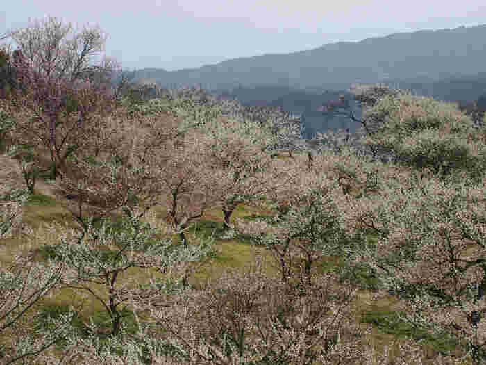 月ヶ瀬梅林は、国が初めて名勝として指定した場所で、関西屈指の梅の名所として知られています。梅が見頃を迎える3月上旬頃になると、紅白の梅の花が渓谷一面を覆い尽くす様は見事で、訪れる者を圧倒します。