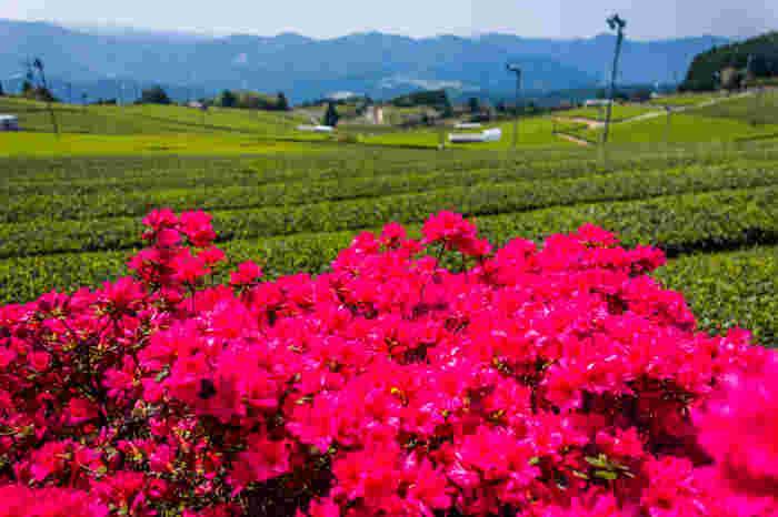 初夏になると、茶畑付近に植えられているツツジが色鮮やか花を咲かせます。緑色をした茶畑と、赤いツツジのコントラストのコントラストは美しく、いつまで眺めていても飽きることがありません。