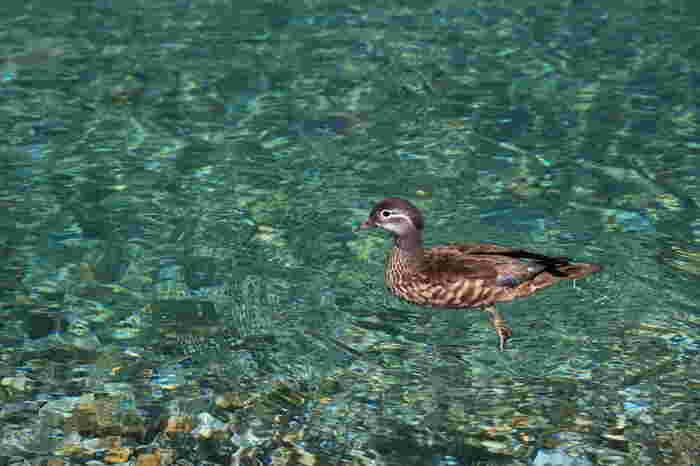 豊かな自然が広がる上高地には、数多くの野生動物が生息しています。大正池では水面を優雅に泳ぐオシドリやカモなどの水鳥の姿を見かけることができます。