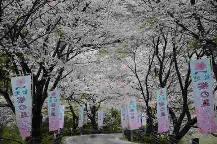 ダムの周りの道路は、春になると桜のトンネルに!身頃は3月中旬~4月上旬で、3/17に「第48回湯山温泉桜まつり」、3/24「花より団子マラソン」が開催されます。ライトアップもされる予定なので、10000本の夜桜を満喫してみませんか?