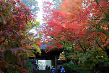 円覚寺山門と紅葉。燃えるような紅葉の美しさに心が浄化されそうですね。円覚寺では定期的に座禅会や写経会が行われており、どなたでも参加することが可能です。詳細は公式HPで確認して下さい。