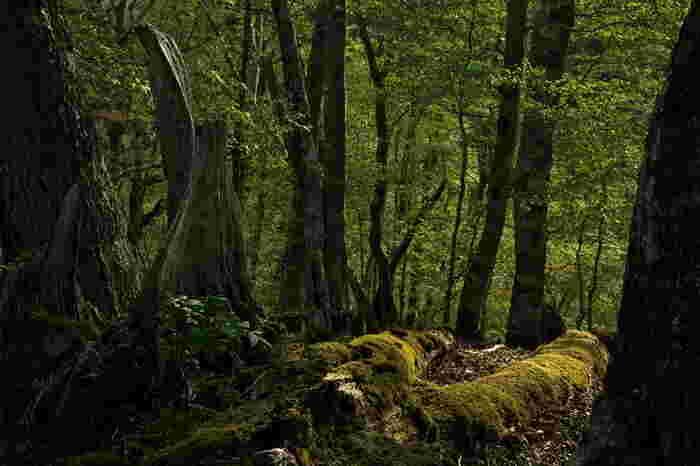 """大台ケ原の森では、太古から延々と営まれている森の再生を垣間見ることができます。天寿を全して朽ちた倒木、苔に覆われて土へと返りつつある倒木、そのすぐ脇に生えている若木……。ここでは、こういった""""森の再生の様子""""を随所で垣間見ることができます。"""