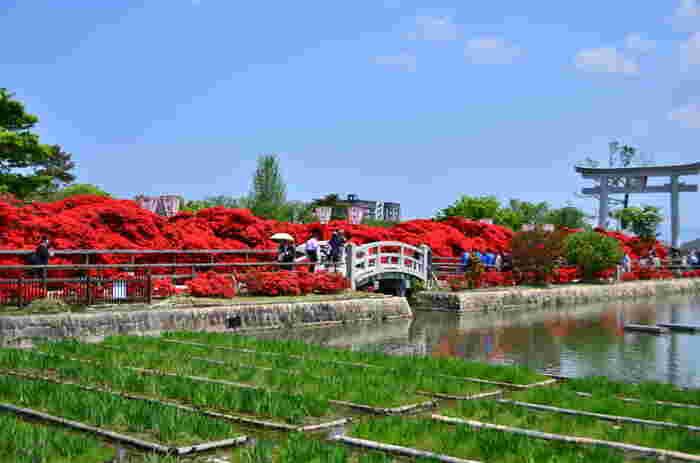 長岡天満宮境内で咲くキリシマツツジの樹齢は100年から150年と言われています。長岡市の天然記念物に指定されている約100本のキリシマツツジが満開になると、境内は深紅の炎で包まれたような景色となります。