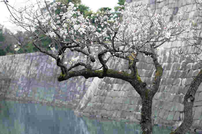 二条城内南西部に広がる梅林には、紅梅、白梅をはじめ、桃色梅、枝垂れ梅など、様々な梅が咲き誇り、優美な姿をした二条城の美しさを引き立てています。