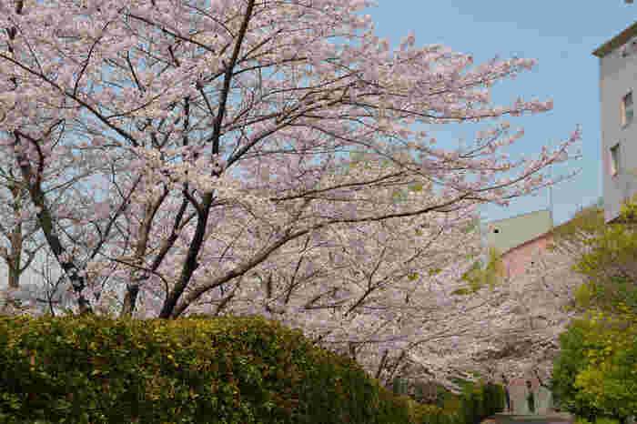 最寄は小田急線参宮橋駅。国立の建物が並ぶエリアでアクセスも良いですが、桜の名所の穴場的存在で割りと空いています。