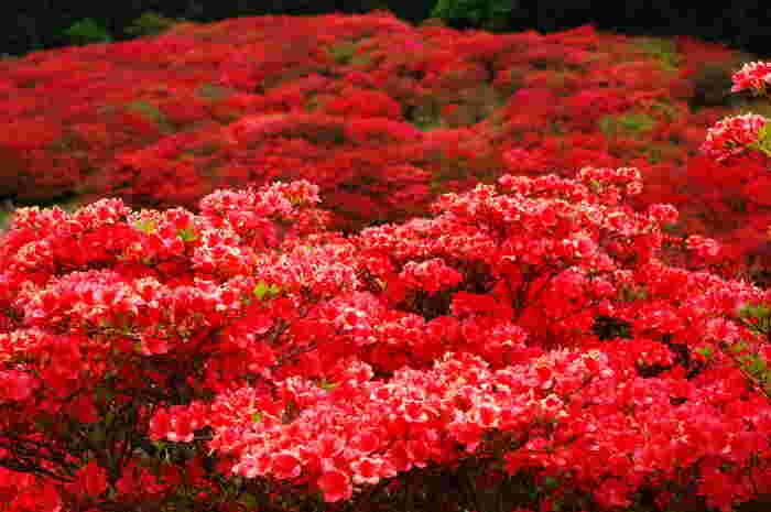 大阪府と奈良県境に位置する大和葛城山は、標高959.2メートルの山です。山頂付近には、ツツジが群生しており、花が開花すると山肌を真っ赤に染めます。
