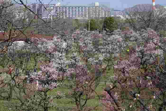 紅梅、白梅をはじめ、大阪城の梅林で植えられている梅の種類は、八重野梅、小梅、豊後など100品種以上にも及びます。