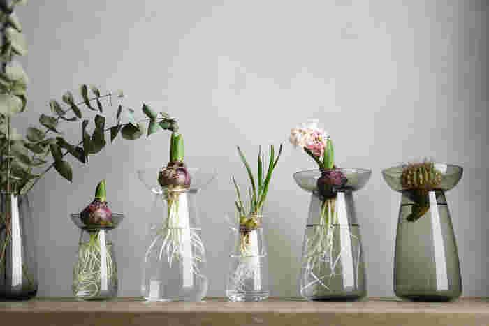 お部屋に癒しの空間を。水耕栽培ではじめる【球根】の育て方