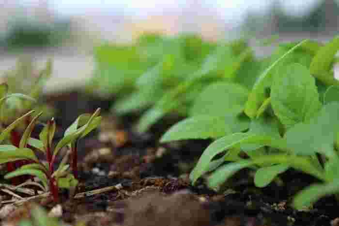"""小松菜が成長し、混みあってきたら、間引きをしましょう。(間引きとは""""良い苗を残して、残りを抜いていくこと""""です)間引いた小松菜は、やわらかくてとてもフレッシュです!サラダなどにして楽しみましょう♪"""