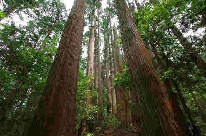 豊かな自然に囲まれた馬路村では、樹齢200~300年ものヤナセスギが自生する千本山があります。直径2メートル、高さ50メートルにも及ぶ大木が、立ち並んでいる様は深山幽谷としており、まるでこの地が神々の棲家であるかのような錯覚さえも感じます。