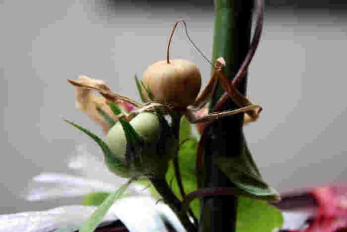 6・開花してから1か月半ほどで実が茶色くなってくると採種時期です。収穫したタネは、翌年植えるときまで保存しておきましょう。