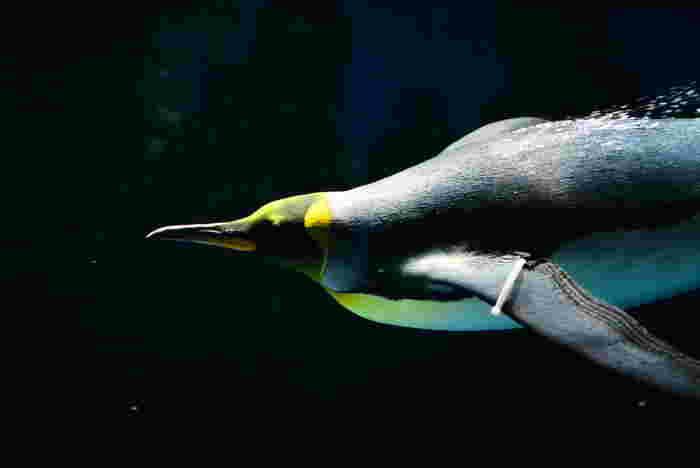 陸上では、幼い子供のようなヨチヨチ歩きのペンギンも水中では優雅な泳ぎを披露してくれます。ペンギンが颯爽と海中を泳ぎまわる様は、まるで自由自在に大空をはばたいているかのようです。