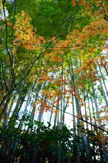 青々とした竹林と鮮やかな紅葉は、他ではなかなか見ることのできない組み合わせではないでしょうか♪