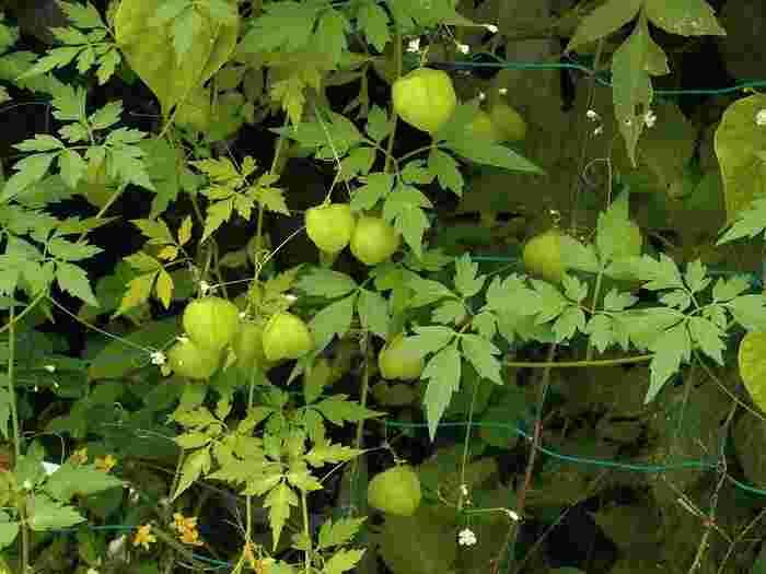 北アメリカ原産のつる性植物。花が咲いた後、風船のかたちをした袋状の果実(食べられません)になります。