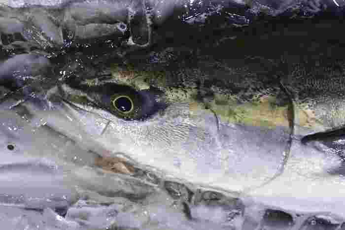 天然のいけすといわれる富山湾の中でも、氷見沖は格好の漁場。氷見ブランドの「ひみ寒ぶり」とは、産卵前の脂ののった状態で氷見漁港に水揚げされた7㎏以上のぶりのことで、その旬は11~1月頃。ぶり刺しやお寿司、ぶりしゃぶなど生きのいいひみ寒ぶりが現地のお店で味わえます。