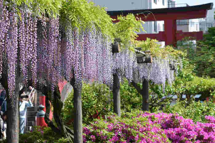 都内随一の藤の名所、亀戸天神境内には約100株の藤棚があります。江戸時代以前から藤の名所だった亀戸天神は浮世絵などにも描かれているとか。