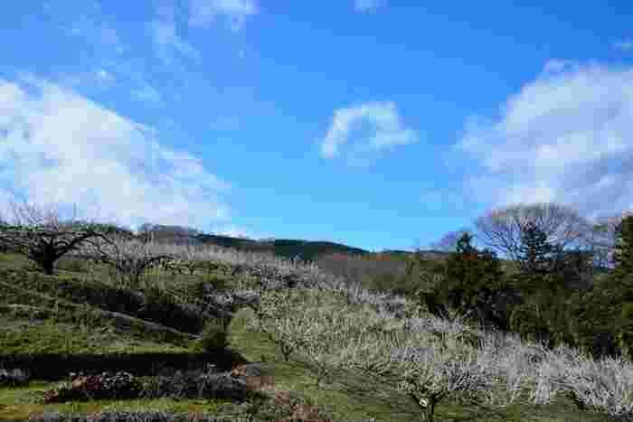 「群馬産大梅林(箕郷梅林、秋間梅林、榛名梅林)の一つに数えられる榛名梅林では、約400ヘクタールの広大な丘陵地帯に約12万本の梅が植樹されています。