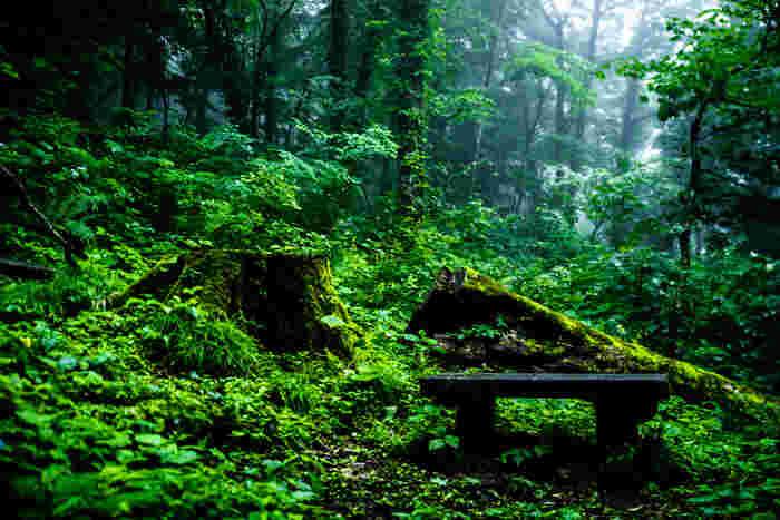 天寿を全うし、力尽きて倒れた倒木は苔に覆われて大地に返ってゆきます。その一方で倒木のすぐ近くには、若木が生えており、新しい生命が誕生しています。白神山地では、太古より繰り返されていた森の生命の営みを肌で感じ取ることができます。