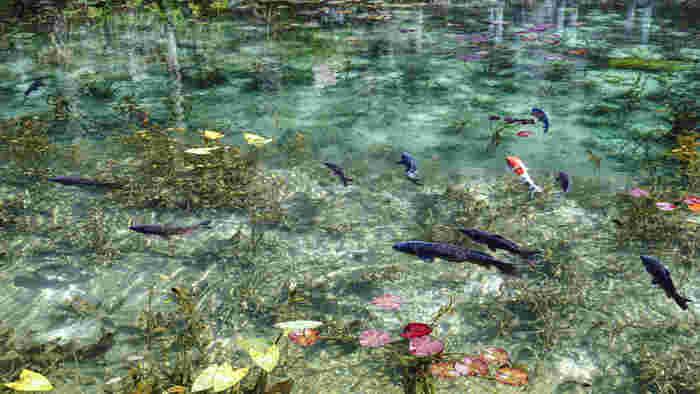 もともとは貯水池で、18年前に整備された際に、近くのお花屋さんが睡蓮を植えたのだとか。信じられないほどの透明度は、湧き水で、しかも硬水のため微生物が育ちににくいのだそうです。
