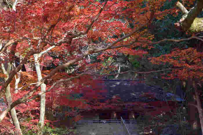 晩秋になるとモミジ、イチョウといった落葉樹が艶やかに彩り、国宝である金堂や五重塔の荘厳さを引き立てています。