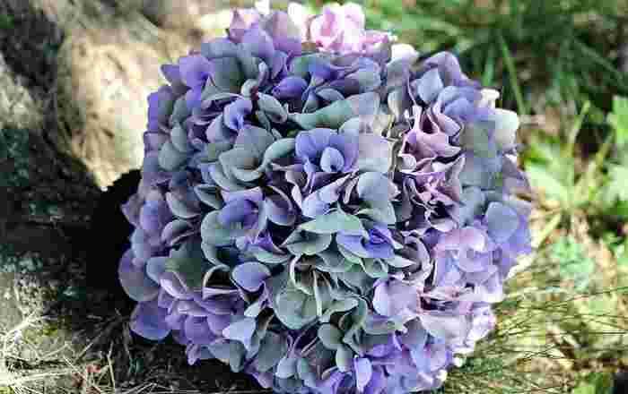 ドライフラワー作りで愛好家が多いのは紫陽花です。枯れると少しくすみがかかった色合いに変化し、アンティークな雰囲気がどんなインテリアにも馴染みが良く人気です。大ぶりな紫陽花1本で作ったり、リースとしてまとめても。たくさんカラーがあるところもアレンジしやすいですよね。