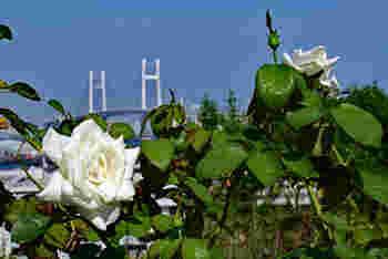 ベイブリッジをバックにバラの写真が撮れるのも、この立地ならではです。春に見ごろを迎えるバラと秋に見ごろを迎えるバラが植えられているので、季節によってまた違った雰囲気も楽しめます。