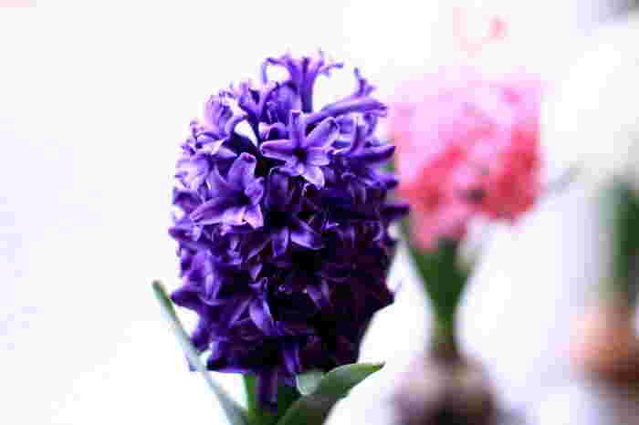 はじめて水耕栽培で球根を育てる場合、茎の先に星型の可愛らしい花がたくさん咲き、見た目が華やかで可憐で、香りも豊かなヒヤシンスが◎。