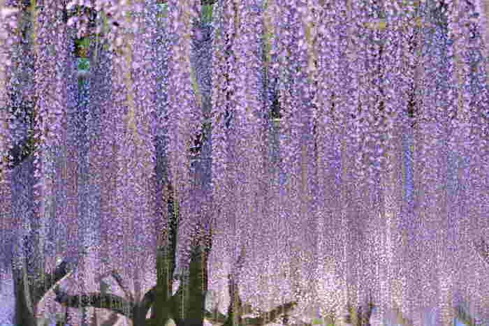 毎年春には、りっぱな藤が目を楽しませてくれる「藤花祭」で賑わいます。期間中はライトアップされて幽玄な眺めが楽しめます。
