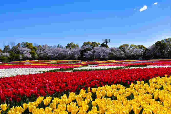 なばなの里は、ナガシマリゾートが運営管理する国内最大級の規模を誇る植物園で、年間を通じて美しい花々を鑑賞することができます。広大な敷地内にある花壇、「花ひろば」では、毎年4月頃になると約180万本のチューリップが開花し、壮大な風景を見渡すことができます。