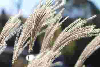 """""""幽霊の正体見たり 枯れ尾花"""" 有名なことわざですね。この尾花というのが秋の七草のひとつで、ススキの別名です。姿が動物の尾に似ていることが名前の由来です。"""