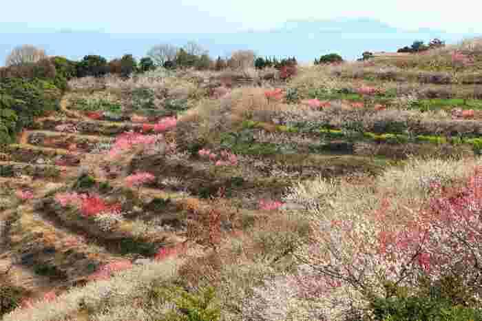 なだらかな傾斜地に、紅、桃色、淡桃色、白色をした梅の花が一斉に開花する景色は圧巻で、まるで大地に梅の絨毯を敷き詰めたかのようです。