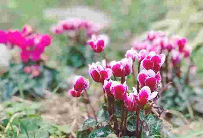 ガーデンシクラメンはシクラメンよりも小ぶりで寒さに強い品種です。上に向かって伸びるお花なので、寄せ植えの時にも高さが出て◎水やりの時に液体肥料を定期的にあげると元気に育ちます。