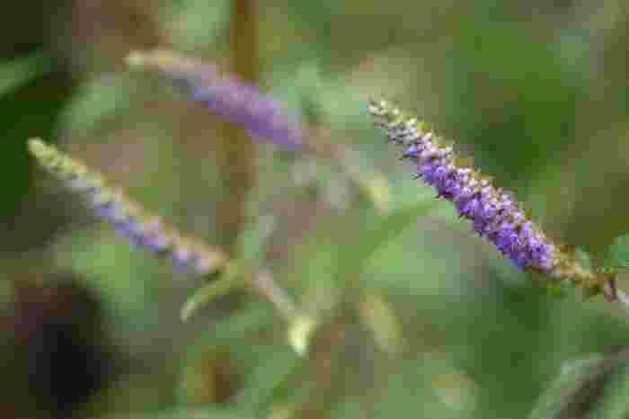 """日当りのいい野原などで、""""シソとミントを合わせたような""""と形容される爽やかな香りを放ちます。シソ科ナギナタコウジュ属に分類される1年生草本で、花穂に花が一方向に向いてつくことから、ナギナタの名前が付けられたとか。"""