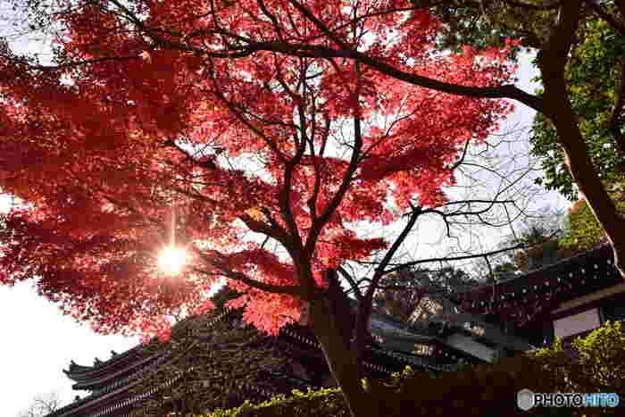 紅葉は、朝の最低気温が8℃を下回ると進んでいくそうです。例年ですと、11月の勤労感謝の日あたりからが目安になります。 鎌倉の最低気温10℃が続いたら、そろそろ紅葉狩りの予定を立ててみましょう。日当たりによって、紅葉する時期が微妙に違ってきますので、お目当ての紅葉スポットの情報をチェックしておくのも良いですね。 「獅子舞」は12月上旬~中旬くらいと、平地より2週間程度遅めが見ごろになるそうです。