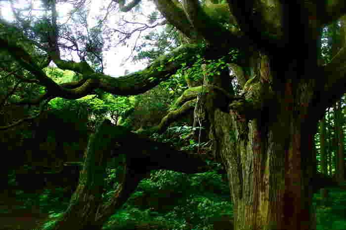 黒岩峠へと続く山道を歩いてゆく途中に忽然と現れる高森殿の杉は、鬱蒼と生い茂る太古の森を彷彿とさせる趣を醸し出しています。高森殿の杉は、一見すると深い山奥に静かに佇む無数の杉によって形成された森のように見えます。しかし実際は、推定樹齢400年を超える杉の大樹2本が、地上近い位置で枝分かれと湾曲を繰り返しており、ここがまるで深い森であるかのような不思議な景色を作りだしています。