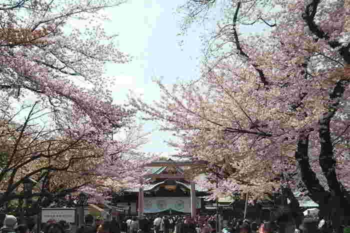 気象庁が東京での桜の開花日を決定する標本木となっているソメイヨシノがある靖国神社は、東京都内でも指折りの人気を誇る桜の名所です。
