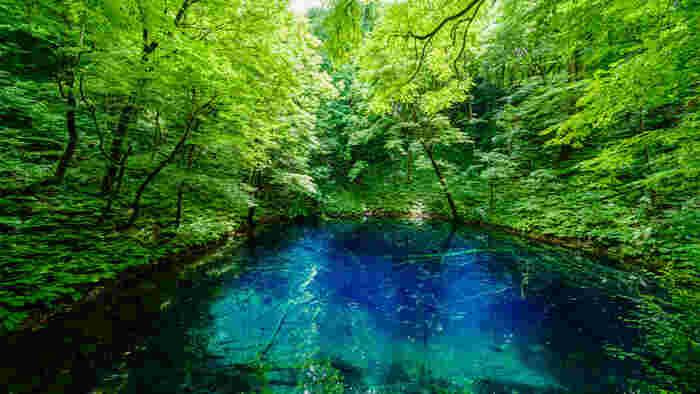 十二湖は、白神山地の中でも最も人気にある観光スポットの一つです。陽射しを浴びて煌めく青い水面を持つ「青池」をはじめ、美しい湖沼群が点在する十二湖は、白神山地における観光のハイライトでもあります。