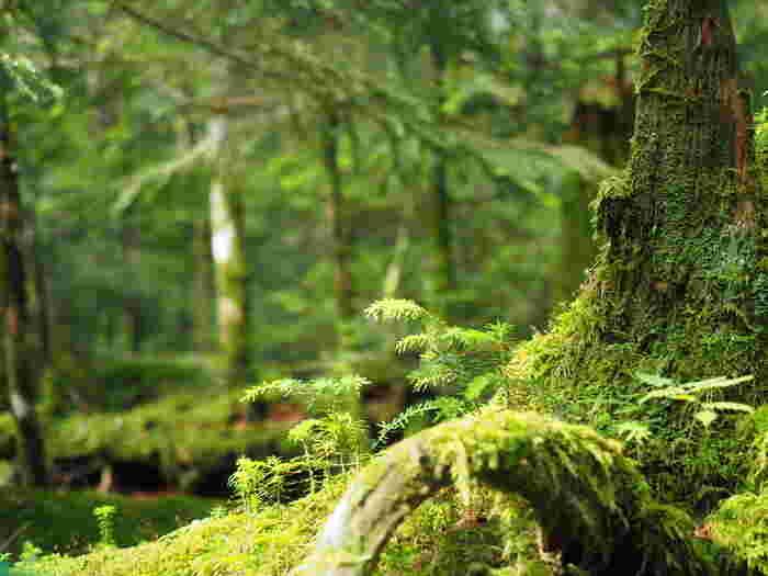 一面に広がる苔に目を奪われます。 なんと485種類の苔が生息する苔の森なのです!