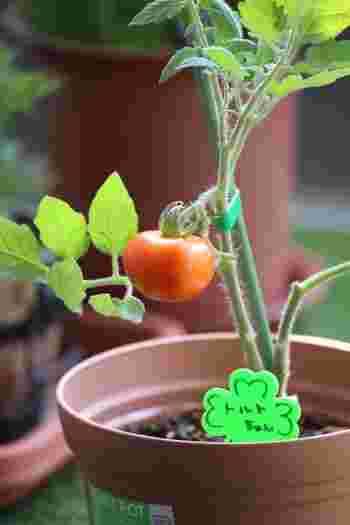 集合住宅などで庭がない場合も、ベランダにプランターなどを置いて野菜を育てられます。夏ならトマトやきゅうり、ゴーヤなど。秋からは、ほうれん草や水菜、春菊などの葉物がおすすめです。