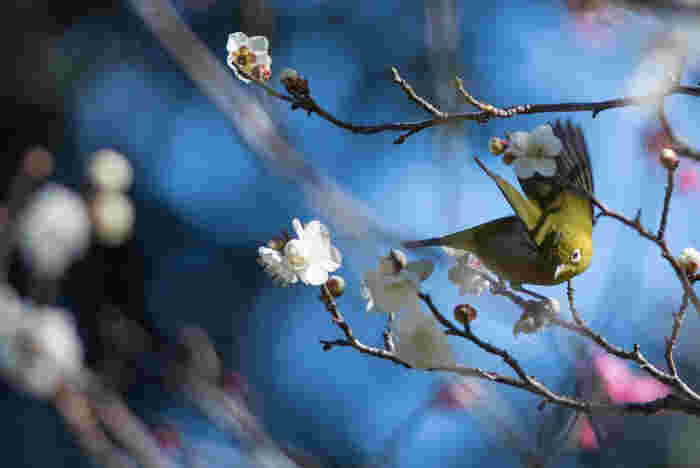 平川濠沿いにある「梅林坂」に咲く梅は、庭園の中で1番はじめにつぼみを開くそう。淡いピンク色と白の花びらが冬の青空に映えますね。皇居東御苑に訪れる野鳥の姿も観察できますよ。