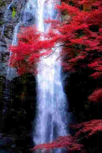 こちらは、関西の紅葉スポット大阪は「箕面の滝」 山の中にあるので、坂道を上らないといけませんが、いたることろで綺麗な紅葉が見れます。