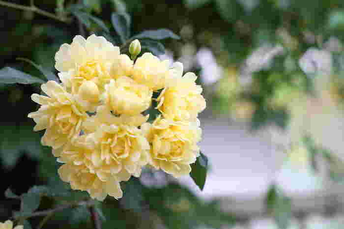 ポジティブな花言葉が多いモッコウバラは、可愛い花束やブーケにしてプレゼントするのもいいですね。