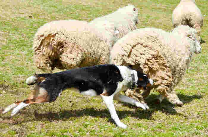 牧羊犬が羊を追い立てる姿も「シープドッグショー」として見られます。間近で見れば、意外にもなかなかの迫力!人気が高いショーなので、連休など人出が多い時期は早めに行って見る場所を確保しておくのがおすすめ。