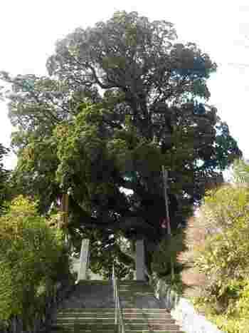 表参道を登りきると、右側に樹齢900年の巨木「柏槙(びゃくしん)」が迎えてくれます。数々の歴史を見守ってきた 、自然の偉大なパワーを感じられますよ。