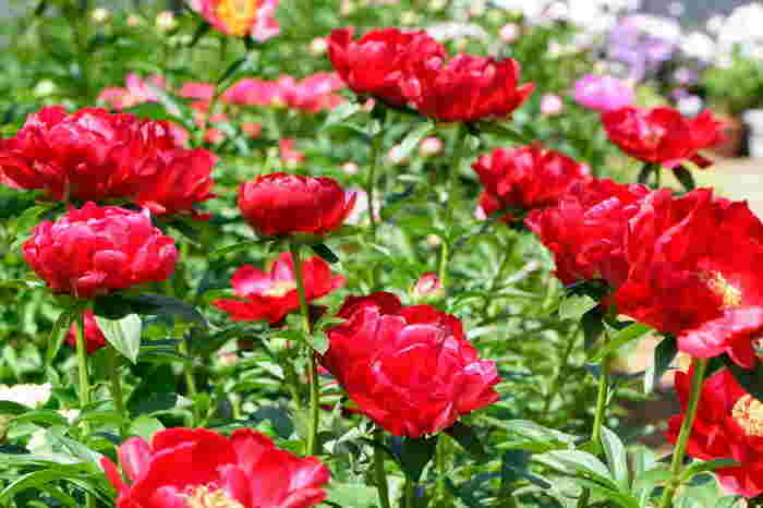 西新井薬師では、季節のお花を楽しむことができます。こちらは、吸い込まれるような赤が美しい芍薬(しゃくやく)です。