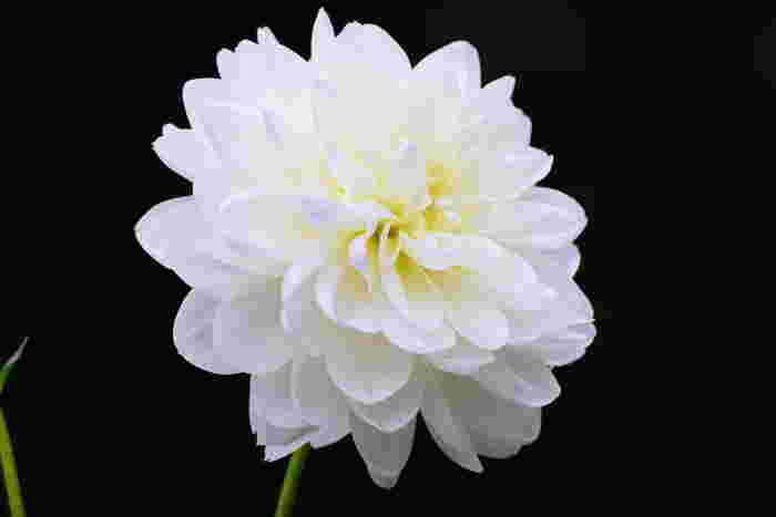気品あふれる姿から美しい女性のようなイメージを思い起こさせるダリア。清楚な白いダリアには「感謝」「豊かな愛情」という花言葉が付けられています。真っ直ぐな感謝の気持ちを届けられそうですね。