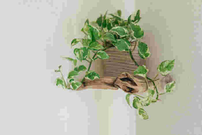 流木の壁掛けは、100円ショップで売っているコーナーラックの前面に流木を付けたもの。 アイデア次第でこんなに素敵な壁掛けラックに!グリーンと流木。自然素材の組み合わせは、お部屋に癒しをプラスしてれます。