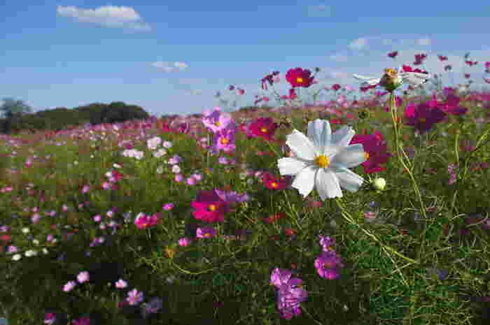 高崎市街地を見下ろせる鼻高町の丘は、高崎市屈指の花の名所です。ここは、四季を通して色鮮やかな花々が咲き誇ることから「鼻高展望花の丘」と呼ばれており、秋になると一面のコスモス畑となります。