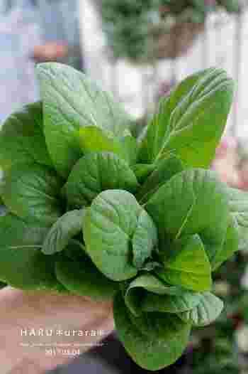 鮮やかな緑色に豊富な栄養。使い勝手も良い小松菜は、毎日の食卓にあると便利な野菜です。葉野菜が高騰した年もありましたし、家庭菜園で育てておくと、とっても経済的ですよね! 小松菜は簡単に作れる野菜の中でも、トップレベルの簡単さなんです。家庭菜園が初めての方にもおススメですよ♪