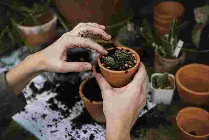鉢植えの際には、サボテンに水を与えず乾燥させておくと、根を引き抜きやすいようです。伸びすぎた根などを取り除き、根を広げるように鉢に植えます。苗を植えたら10~14日ほど日陰に置き、さらに10~15日後に水やりをします。